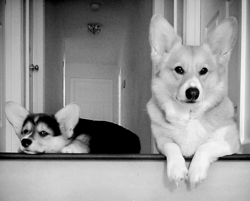 pembroke-welsh-corgis-stair-toll