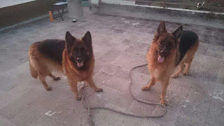 German shepherd dogs Grooming : Mental stimulation.