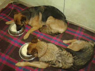 German Shepherd Dogs Diet