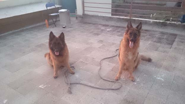 German shepherd dogs structural deformities