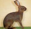 mini-belgisk hare
