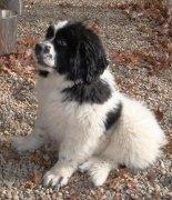 Newfoundland puppy sitting R Silver