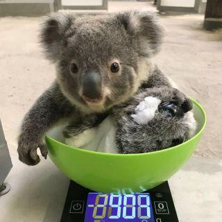 鹿児島市平川動物公園赤ちゃんコアラ3頭の名前を募集 観光経済新聞