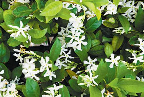 新西蘭花園景觀植物白花藤Star Jasmine-看新西蘭