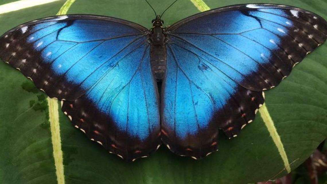 Now is the time to see blue morpho butterflies at Powell