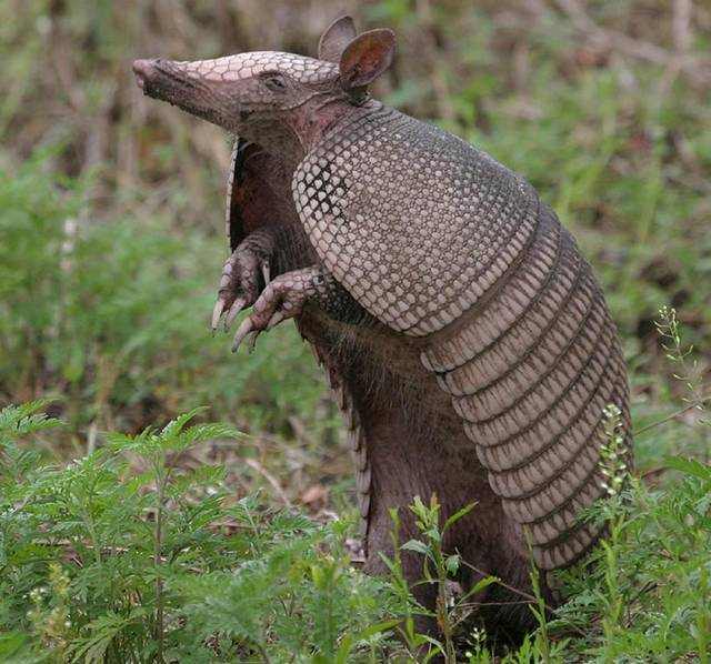 armadillo sightings increase in