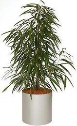 Ficus Alii, Kantoorplanten, Kantoorbeplanting