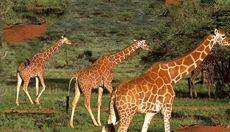 Tanzanian safari, but also beyond Tanzania