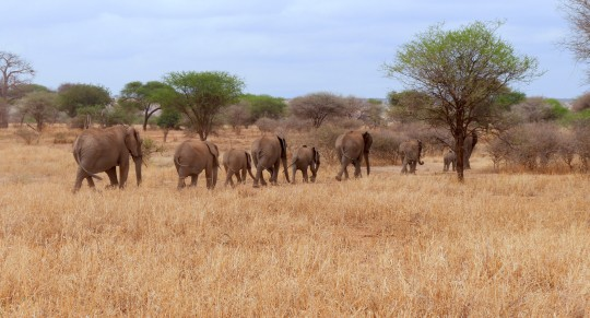 Elephant Family in Tarangire National Park