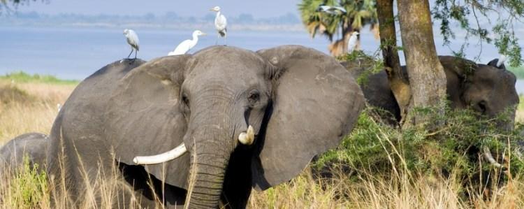 elephant and   egrets
