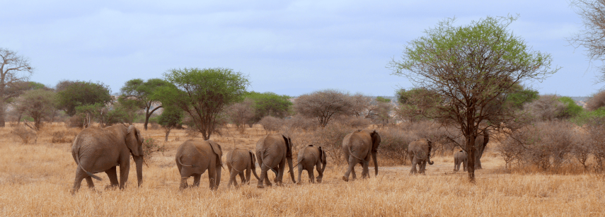 Elephant family in Tarangire National Park - the best safari Tanzania