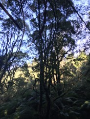 Trees in the Redwood Forest, The Otways, Great Ocean Road