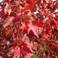 Red Autumn Leaves, Orange Wine Tours