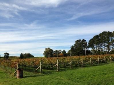 Grapevines, Orange Mountain Wines, Orange Wine Tours