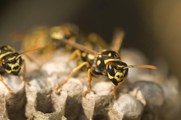 Il veleno di una vespa del Brasile può essere nuova arma anti-cancro
