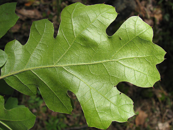 Quercus kelloggii Black Oak in Victoria Garden Redding CA