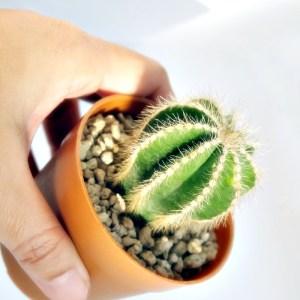 RARE Cactus Plant, Unique Pot, Container, Notocactus Magnificus, 40-mm or 1-1/2-inch Width