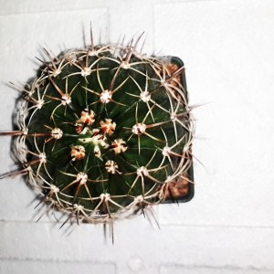 RARE Cactus Plant, Unique Pot, Container, Desktop, Office, Home & Garden Decor, Melocactus Arcuatispinus, 50-mm or 2-inch Diameter