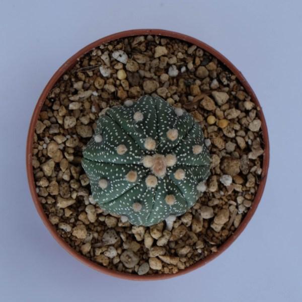 RARE Cactus Plant, Unique Pot, Container, Desktop, Office, Home & Garden Decor, Astrophytum Asterias(KABUTO), 35 x 30-mm, 1 x 1-inches (WxH)