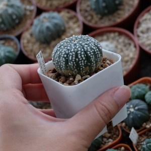 RARE Cactus Plant, Unique Pot, Container, Desktop, Office, Home & Garden Decor, Astrophytum Asterias(KABUTO), 30 x 25-mm, 1 x 1-inches (WxH)