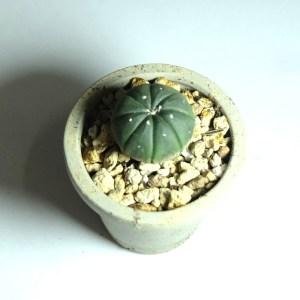 RARE Cactus Plant, Unique Pot, Container, Astrophytum Asterias Var. Nudum, 38-mm or 1-1/2-inch Width