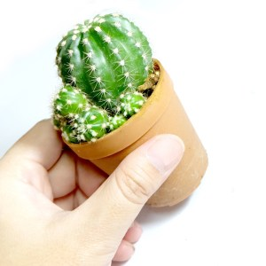 RARE Cactus Plant, Unique Pot, Container, Echinopsis Calochlora, 50-mm or 2-inch Width