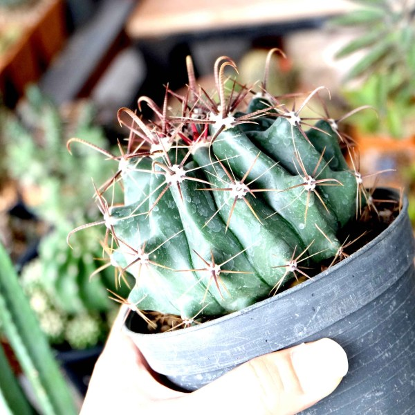 RARE Cactus Plant, Unique Pot, Container, Desktop, Office, Home & Garden Decor, Ferocactus Fordii, 80-mm or 3-inch Diameter