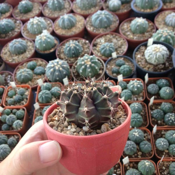 RARE Cactus Plant, Unique Pot, Container, Desktop, Office, Home & Garden Decor, Gymnocalycium Mihanovichii, 45 x 40-mm, 1-1/2 x 1-1/2-inches