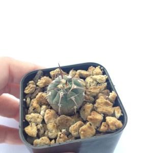 RARE Cactus Plant, Unique Pot, Container, Desktop, Office, Home & Garden Decor, Gymnocalycium Vatteri, 25 x 25-mm or 1 x 1-inches (W x H)