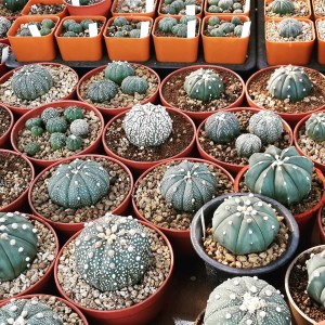 RARE Cactus Seed, Real Fresh Cactus Seed, Astrophytum Seed Mix, 30-90-PCS