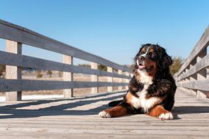 Bernese Mountain Dog lying on walking bridge