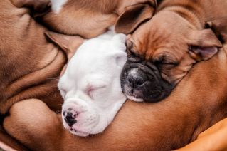 Boxer puppy pile