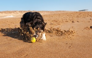 Border Collie sliding in sand fetching tennis ball