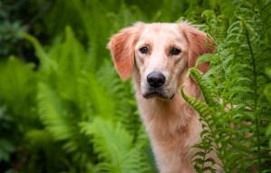 Golden Retriever in ferns