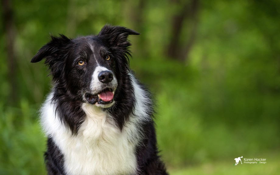 Headshot of Border Collie with blurred green background