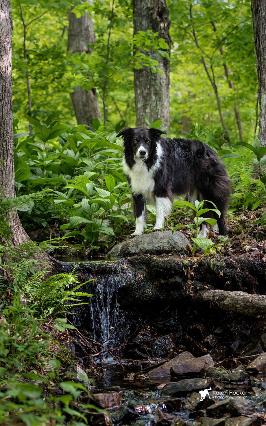 Border Collie standing in green summer woods above small waterfall