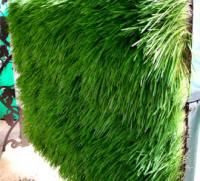 Greenwalls - wheatgrass