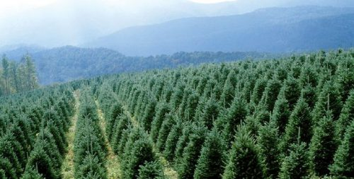 Christmas Trees - A North Carolina Tradition