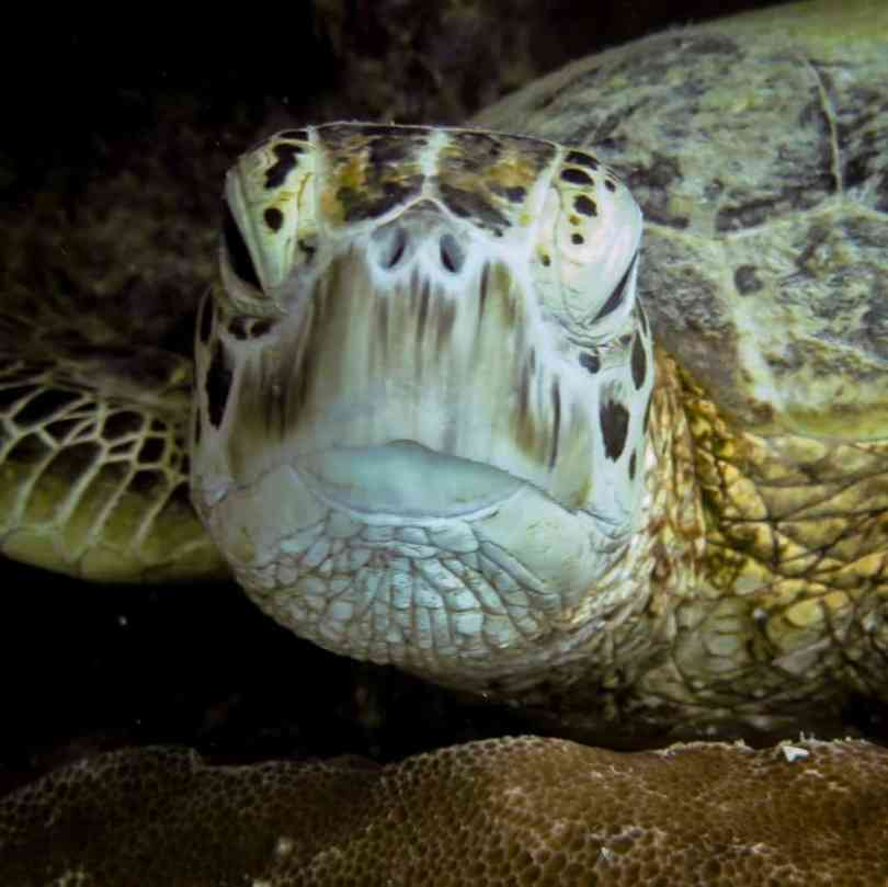 Turtle looks out from ledge