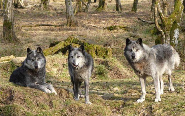 Trois loups au pelage noir/gris/blanc, l'un couché et les deux autres debouts, tous trois tournés vers l'objectif.