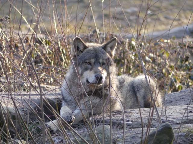 Loup au pelage gris/beige, allongé en sphinx les pattes croisées, regardant vers l'objectif avec un espèce d'air blasé.