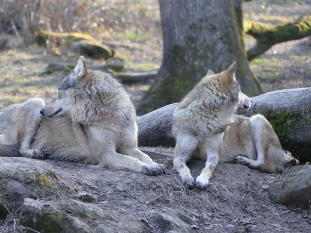 Deux loups au pelage gris beige, couchés l'un à coté de l'autre, l'un regardant vers la droite et l'autre vers la gauche.