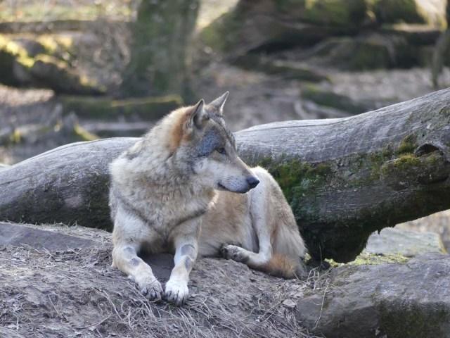 Loup au pelage gris beige et aux yeux jaunes, couché en sphinx, tête totalement tournée pour regarder vers la droite de l'image.