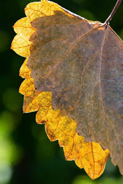 Feuille de vigne automne
