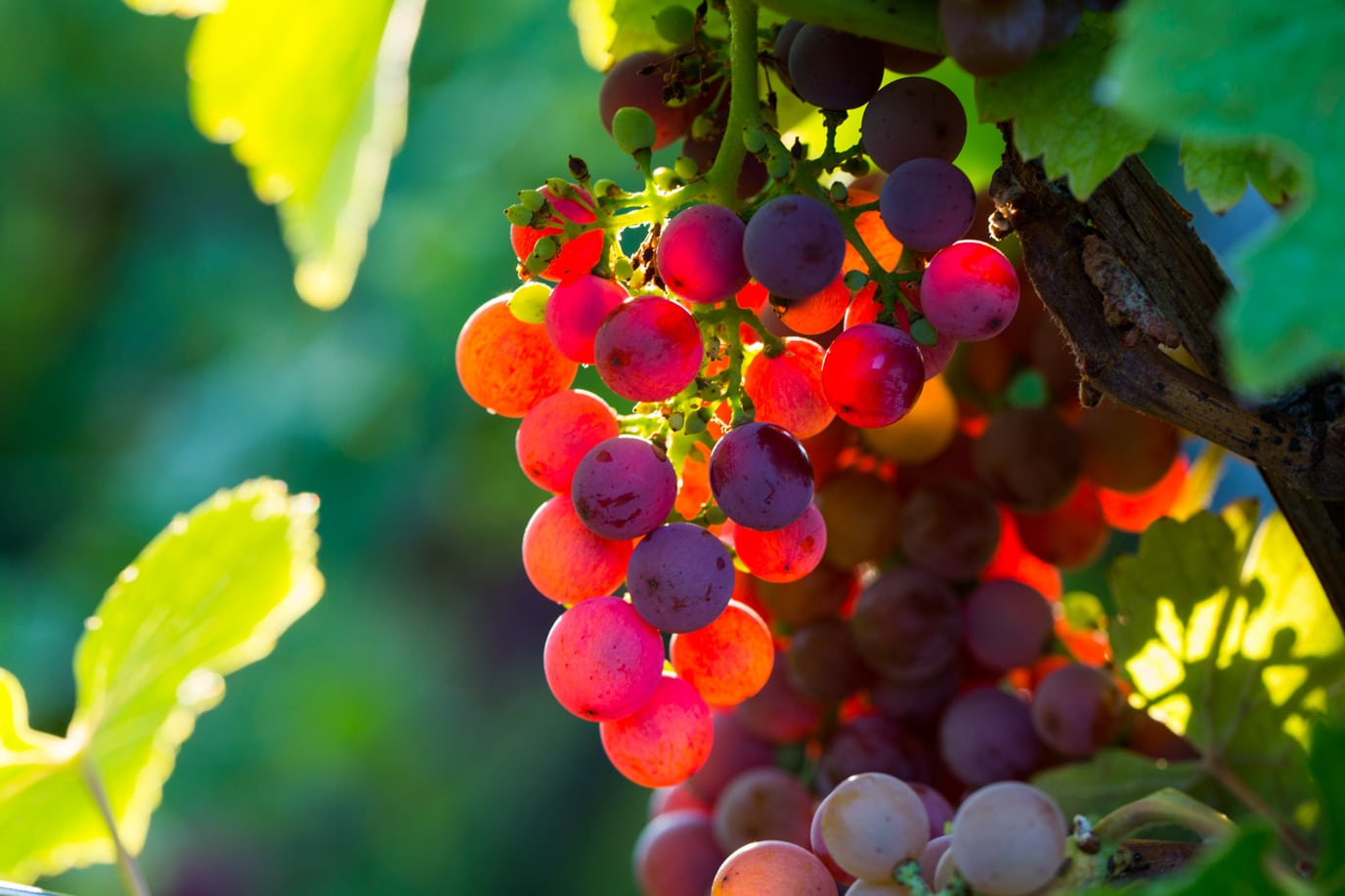 Vignoble d'Ergersheim-Domaine Brandt