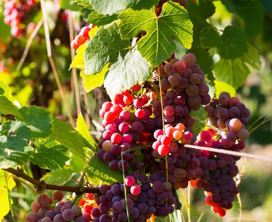 Grappes de raisin
