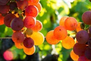 Vin-bio grappes