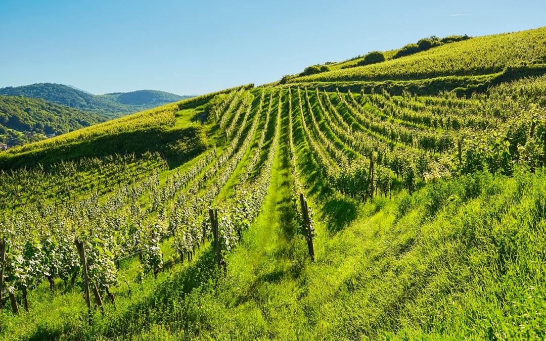 Photographier la vigne, de la floraison au verre de vin