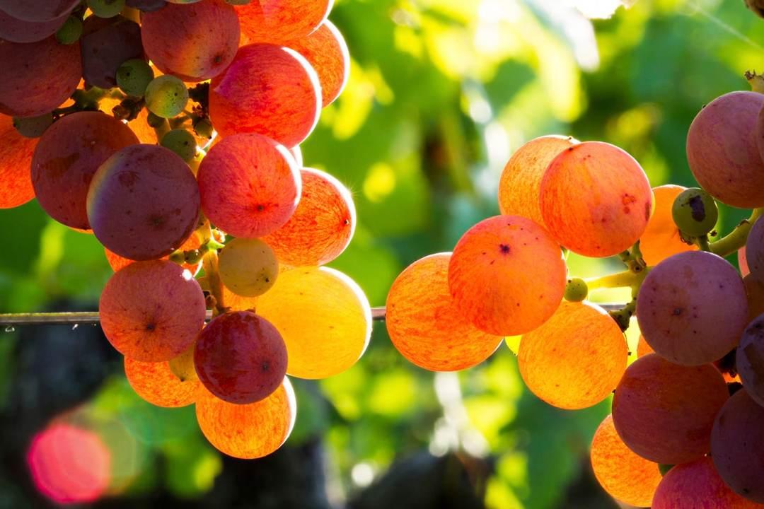 photographier la vigne