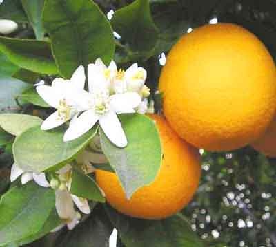 Fruta-Laranja-da-terra